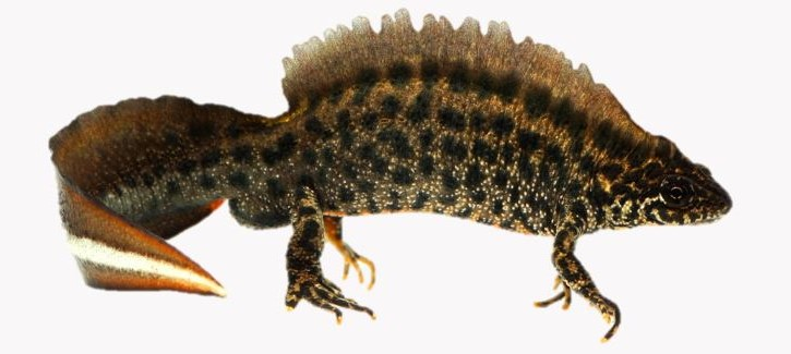 crested newt image