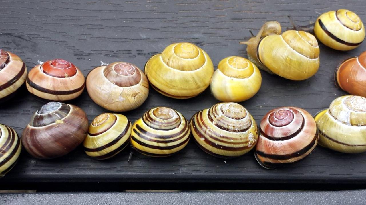 Cepaea nemoralis in different shapes and colours