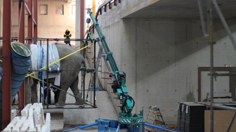 Elephant is being maneuvred into the new building