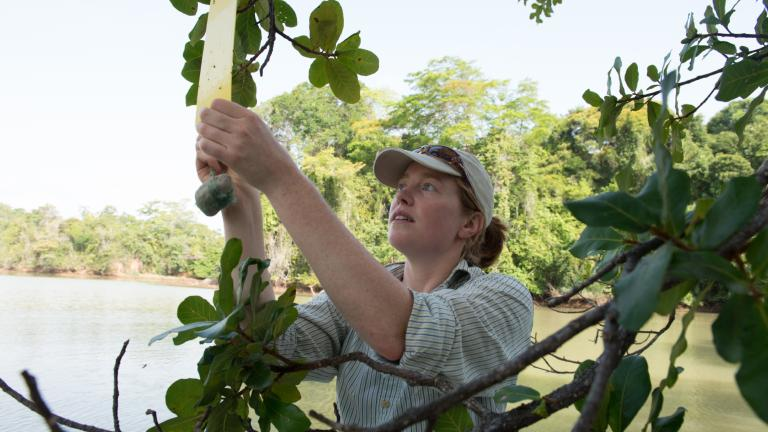 Aafke Oldenbeuving taking samples from a fig tree
