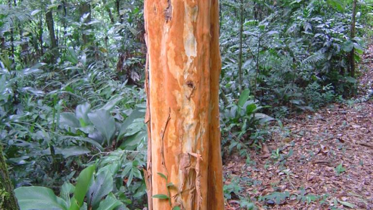 Red trunk of Eugenia multicostata in SE Brazil