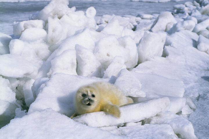 Caspian seals get their puppies on sea ice - but that's disappearing.