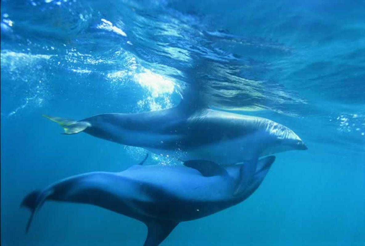 mating dolphins