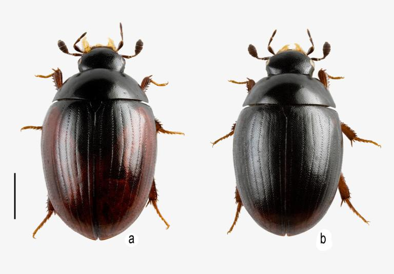 Very similar looking beetles