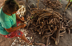 Indigenous woman processing cassava roots in Guyana